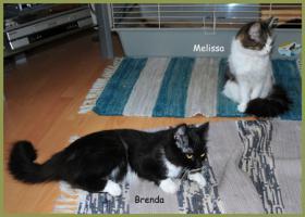 Brenda und Melissa, Main-Coon-Mix-Katzen