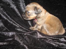 Foto 2 Briard-Welpen in fauve und schwarz!!