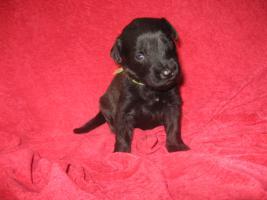 Foto 7 Briard-Welpen in fauve und schwarz!!