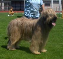 Foto 2 Briard - Zuchthund Falfarbe mit Stammbaum