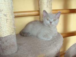 Foto 2 Britisch Katzenbabys mit Papiere abzugeben