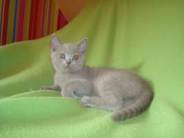Foto 3 Britisch Katzenbabys mit Papiere abzugeben