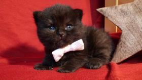 Foto 3 Britisch-Kurzhaar-Babies