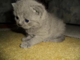 Foto 2 Britisch Kurzhaar Babys