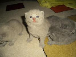 Foto 3 Britisch Kurzhaar Babys