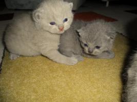 Foto 4 Britisch Kurzhaar Babys