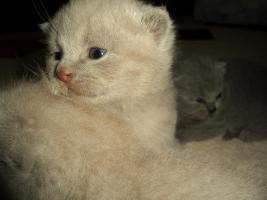 Foto 6 Britisch Kurzhaar Babys