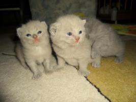 Foto 7 Britisch Kurzhaar Babys