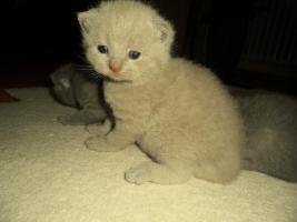 Foto 8 Britisch Kurzhaar Babys