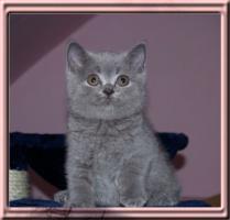 Foto 4 Britisch Kurzhaar Babys !