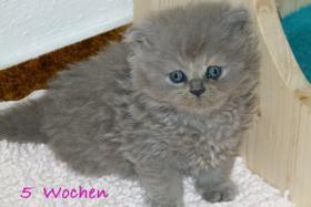 Britisch Kurzhaar und Britisch Langhaar Kitten