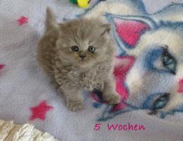 Foto 2 Britisch Kurzhaar und Britisch Langhaar Kitten