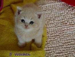 Foto 3 Britisch Kurzhaar und Britisch Langhaar Kitten