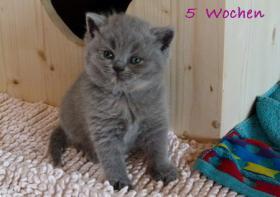 Foto 4 Britisch Kurzhaar und Britisch Langhaar Kitten