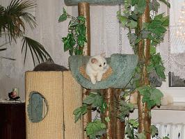 Britisch Kurzhaar Kätzchen in Schneeweiß und hörend