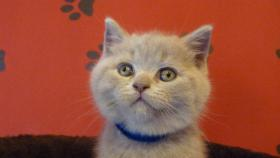 Britisch-Kurzhaar-Kätzchen mit Stammbaum
