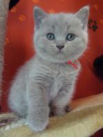 Foto 2 Britisch-Kurzhaar-Kätzchen mit Stammbaum