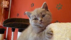 Foto 4 Britisch-Kurzhaar-Kätzchen mit Stammbaum