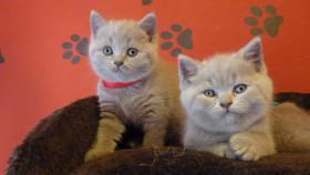 Foto 5 Britisch-Kurzhaar-Kätzchen mit Stammbaum
