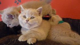 Foto 6 Britisch-Kurzhaar-Kätzchen mit Stammbaum