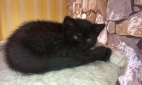 Foto 5 Britisch Kurzhaar Katzen