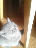 Foto 7 Britisch Kurzhaar Katzen