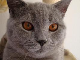 Foto 4 Britisch Kurzhaar Katzen