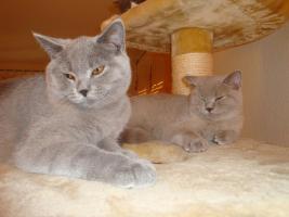 Foto 6 Britisch Kurzhaar Katzen