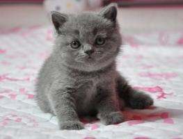 Britisch Kurzhaar Katzenbabys mit Stammbaum