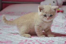 Foto 2 Britisch Kurzhaar Katzenbabys mit Stammbaum
