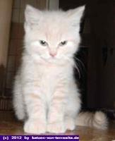 Foto 2 Britisch Kurzhaar Kitten
