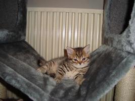 Britisch-Kurzhaar-Kitten!
