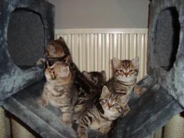 Foto 2 Britisch-Kurzhaar-Kitten!