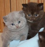 Foto 5 Britisch Kurzhaar Kitten