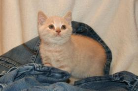 Britisch Kurzhaar Kitten Aikon, Aragon, Avatar und Rusty