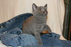 Foto 2 Britisch Kurzhaar Kitten Aikon, Aragon, Avatar und Rusty