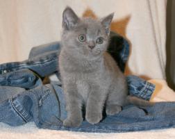 Foto 3 Britisch Kurzhaar Kitten Aikon, Aragon, Avatar und Rusty
