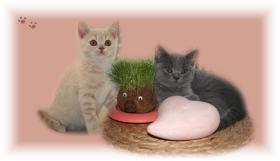 Britisch Kurzhaar Kitten: Avatar blau & Ruby creme
