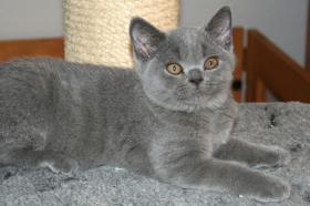 Foto 2 Britisch Kurzhaar Kitten: Avatar blau & Ruby creme