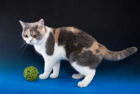 Foto 4 Britisch Kurzhaar Kitten: Avatar blau & Ruby creme