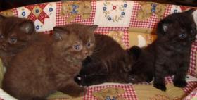 Britisch Kurzhaar Kitten in der Farbe chocolate
