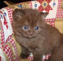 Foto 2 Britisch Kurzhaar Kitten in der Farbe chocolate