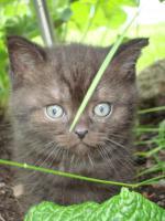 Foto 3 Britisch Kurzhaar Kitten in der Farbe chocolate