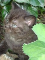 Foto 4 Britisch Kurzhaar Kitten in der Farbe chocolate
