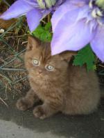 Foto 5 Britisch Kurzhaar Kitten in der Farbe chocolate