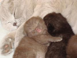 Foto 6 Britisch Kurzhaar Kitten in der Farbe chocolate