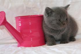 Foto 4 Britisch Kurzhaar Kitten Träume werden wahr