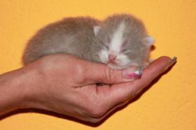 Britisch Kurzhaar Kitten in lilac-weiß
