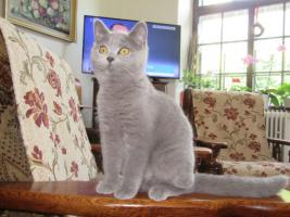 Foto 2 Britisch Kurzhaar Kittens