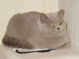 Foto 3 Britisch Kurzhaar Kittens